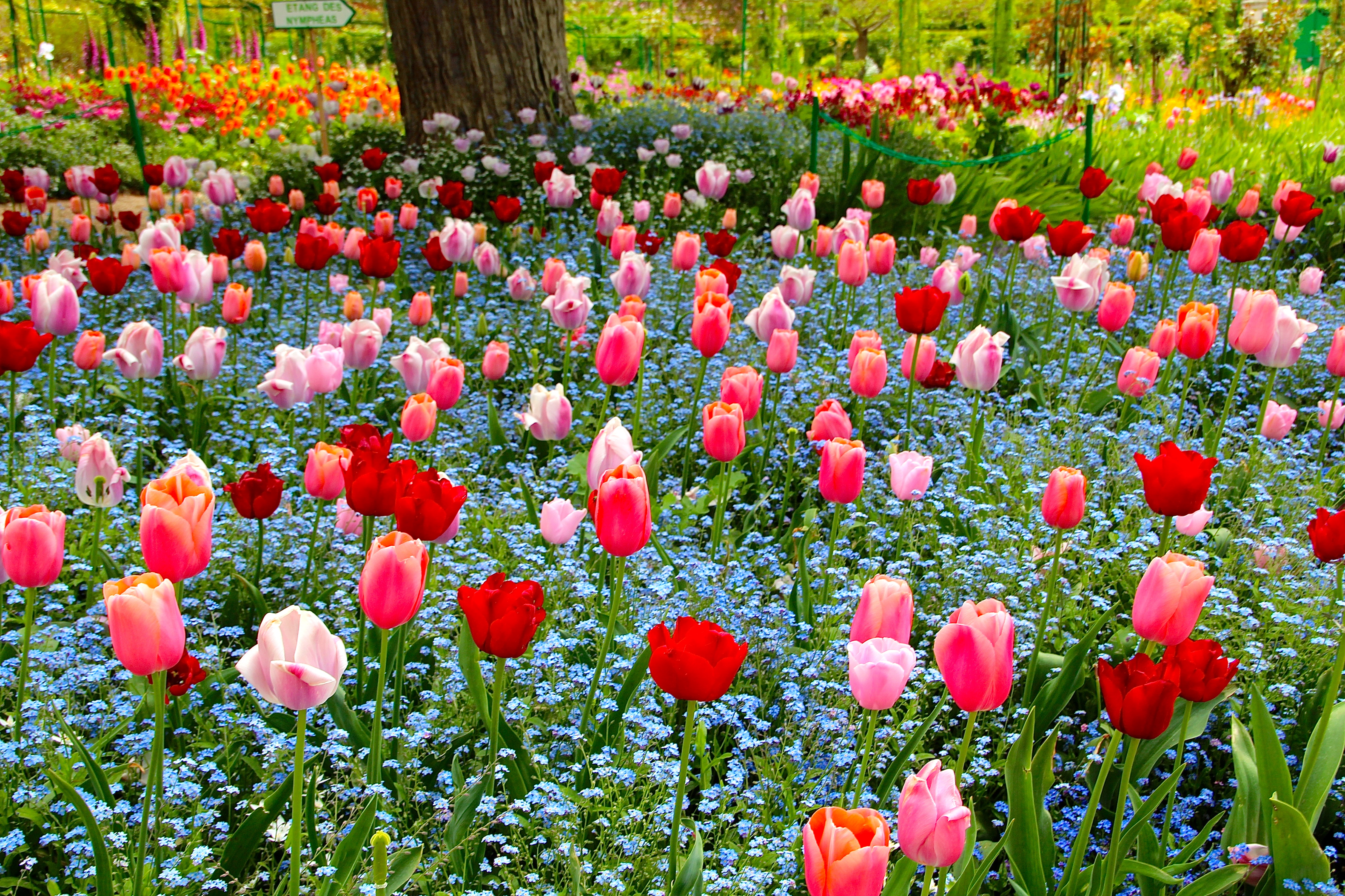 Tulips and Forget-me-nots at Giverny. France. 05.09.16