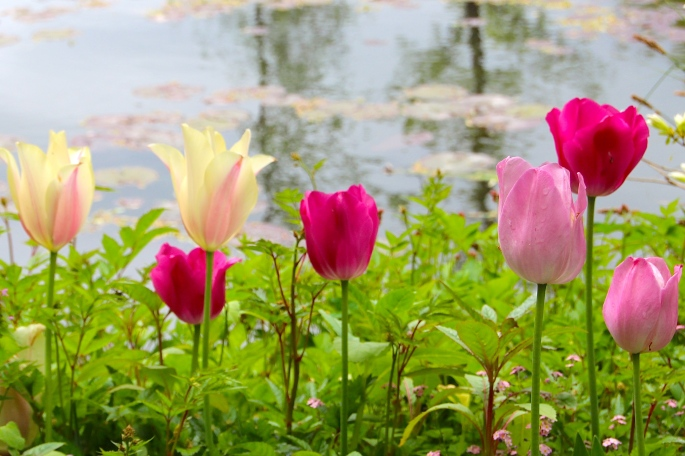 Tulips Spring flowers blooming at Giverny. France. 05.09.16.