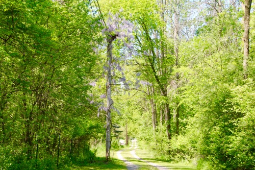 Wisteria on wooded lane*