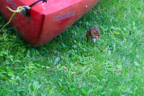 Chipmunk eating a cherry
