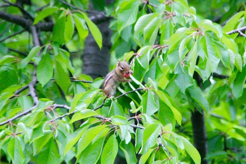 Chipmunk eating cherry in tree