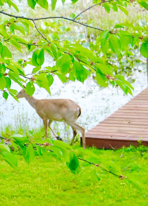 Deer by dock 5.26.16