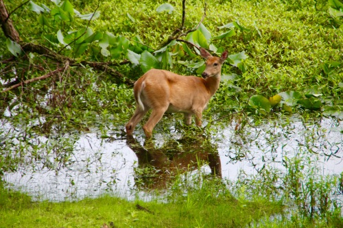 Deer in lake