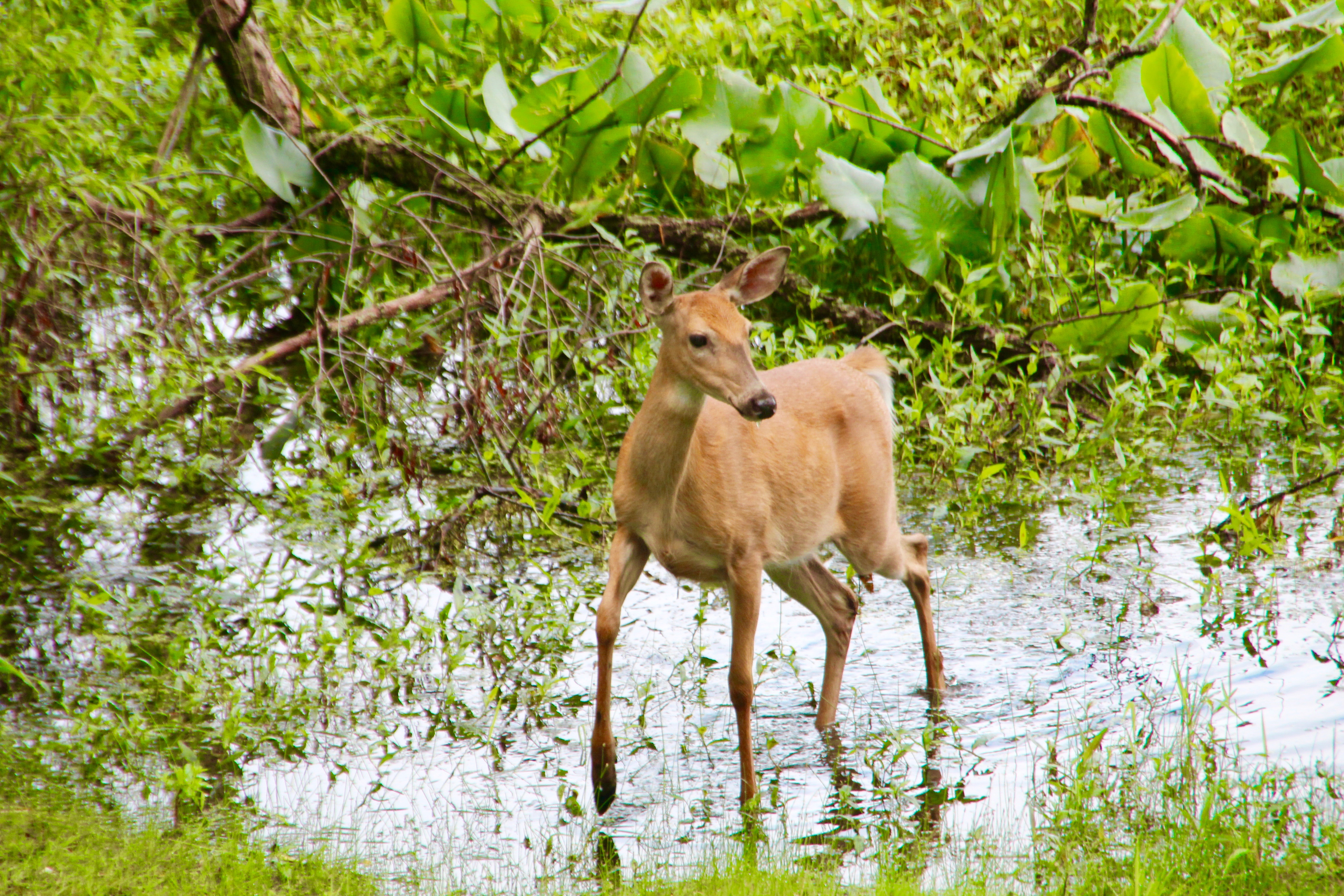 Doe standing at water's edge