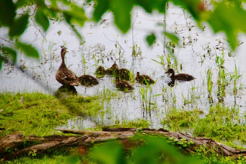Duck and ducklings on lake