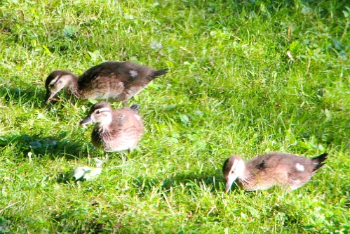 Ducklings on the lawn