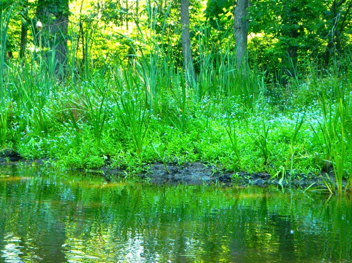 Forget-me-nots and rushes along the Rogue River MI