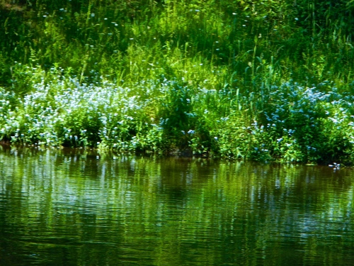 Forget-me-nots on the Rogue River MI