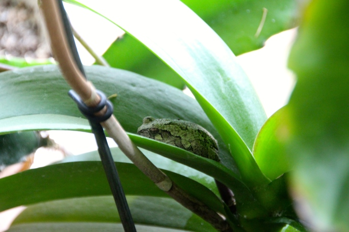 Frog sleeping on an orchid