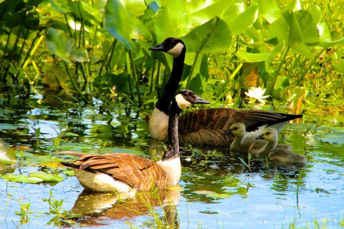 Geese and goslings near shore