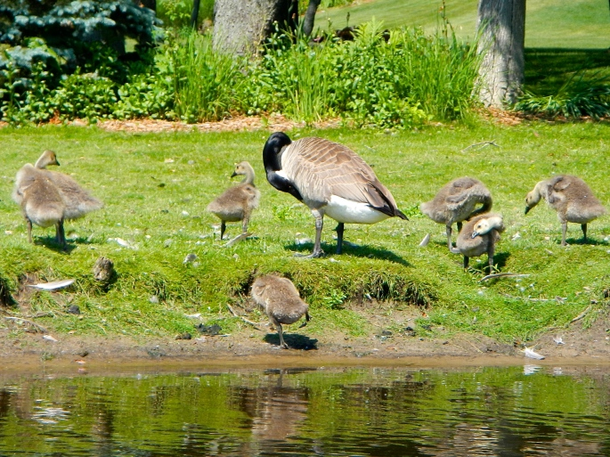 Geese and goslings on shore on the Rogue River MI