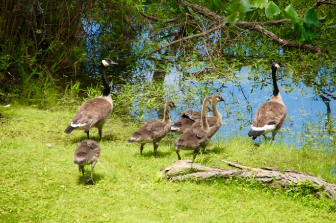 Geese and goslings on shore