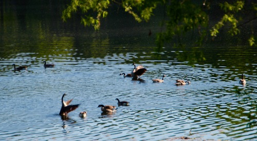 Geese squawking in evening