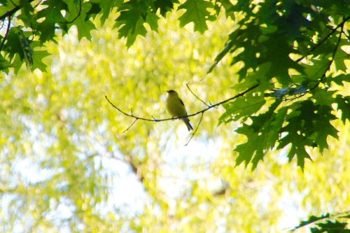 Gold Finch singing in the tree tops