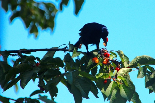 Grackle eating cherries