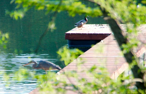 Great blue heron and ducks on dock