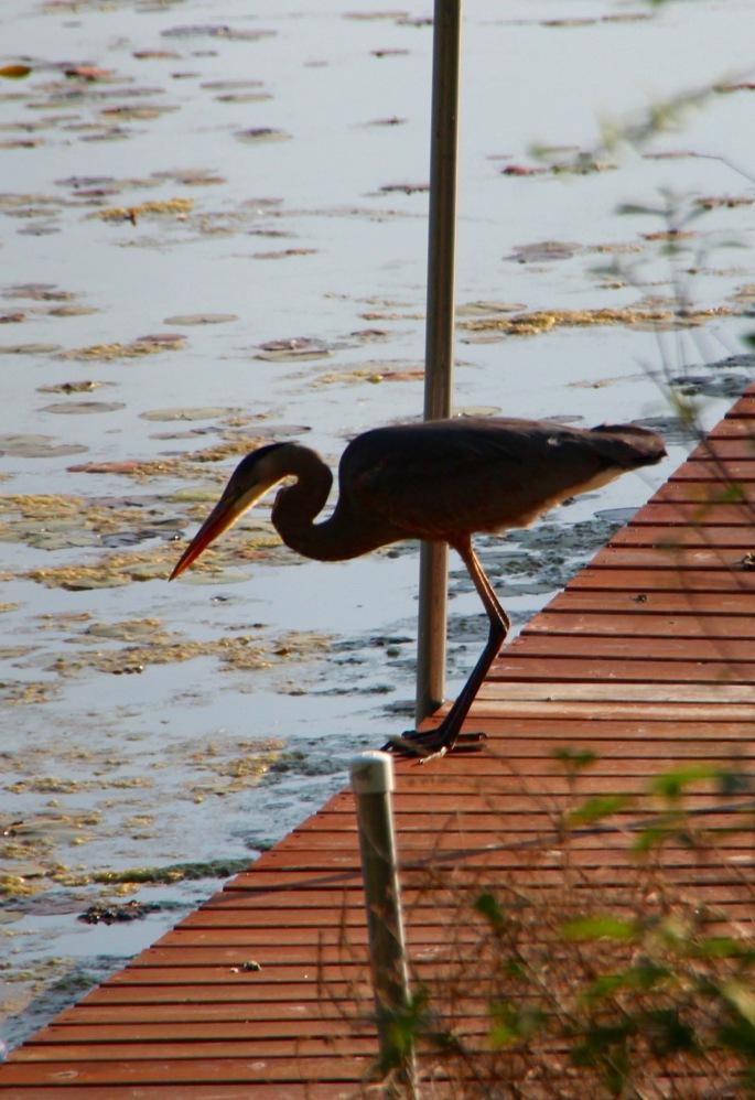 Great blue heron on dock