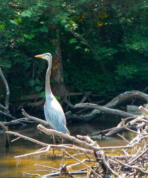 Great Blue Heron on Rogue River MI