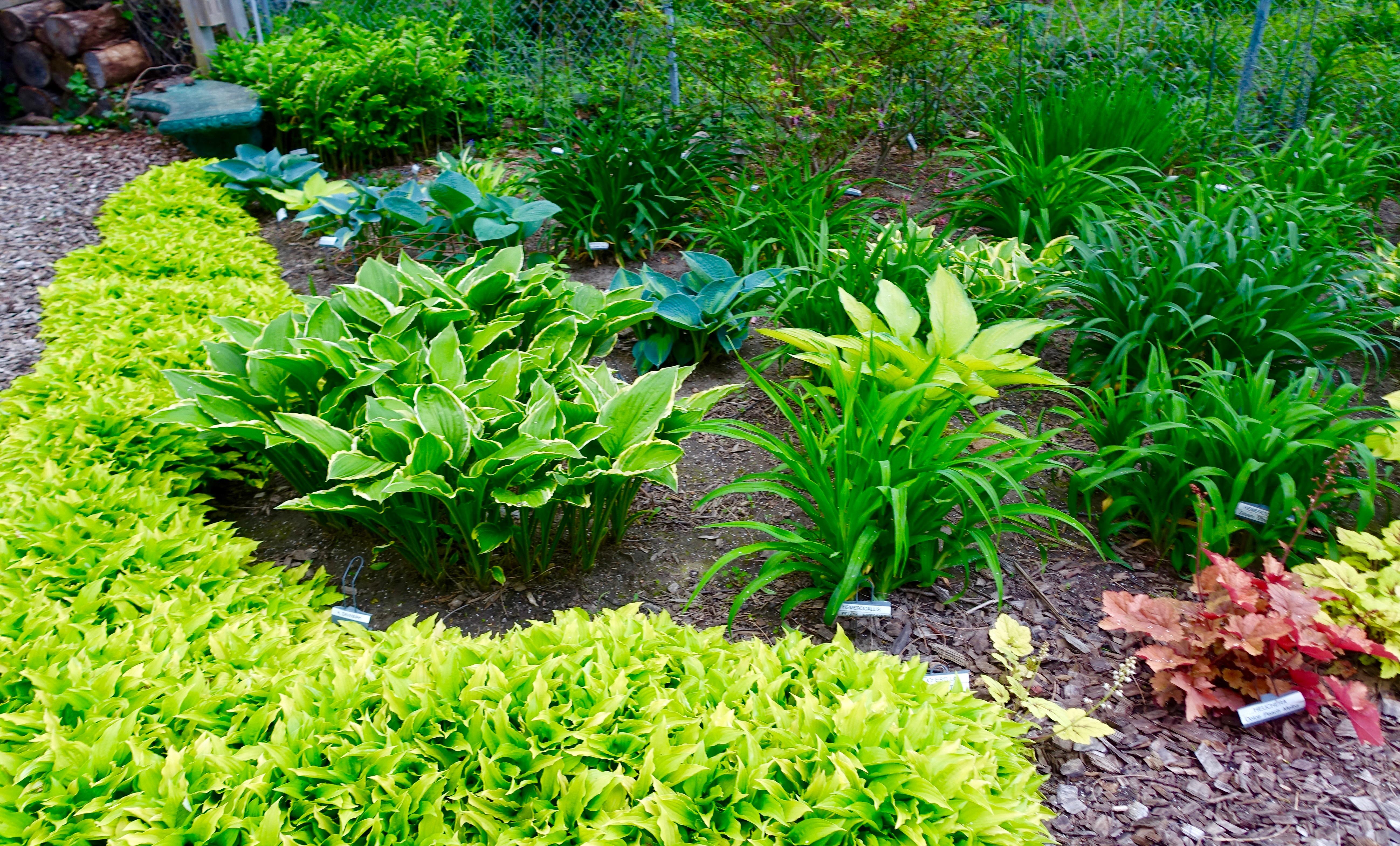 Hosta Garden. 11