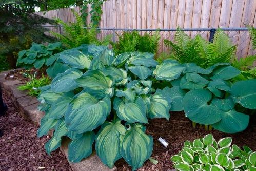Hosta garden 17