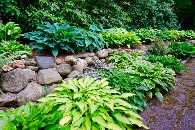 Hosta Garden. 7