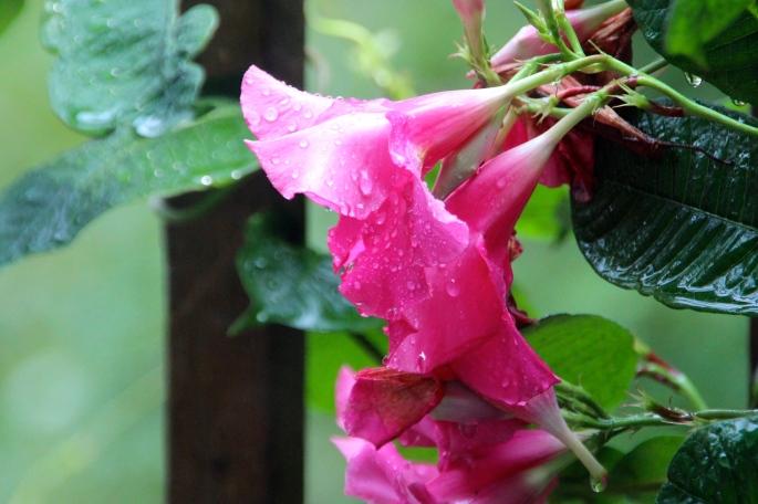 Mandevilla in rain