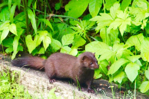 Mink at edge of woods