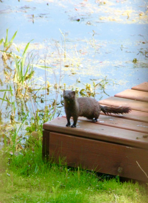 Mink on dock