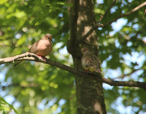 Mourning Doves in tree