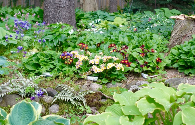 Primroses and Columbine in Spring