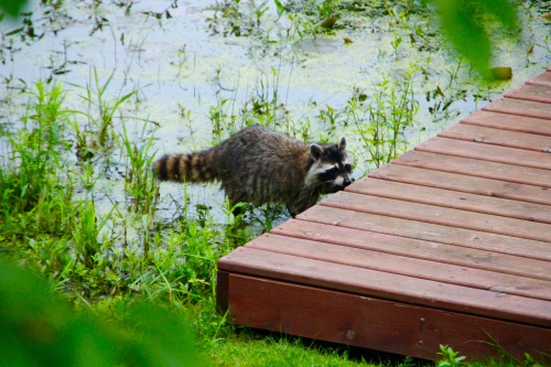 Racoon by dock