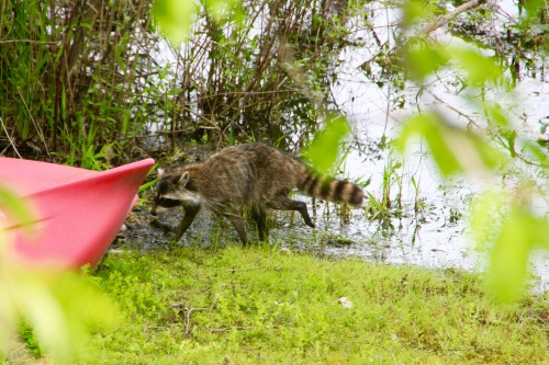 Racoon by our canoe 5.26.16