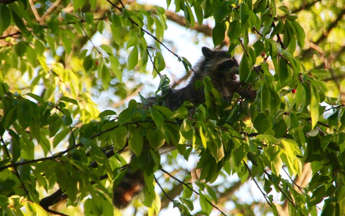 Racoon eating cherries from tree