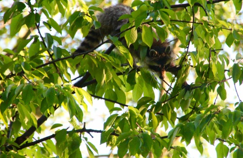 Racoon in cherry tree