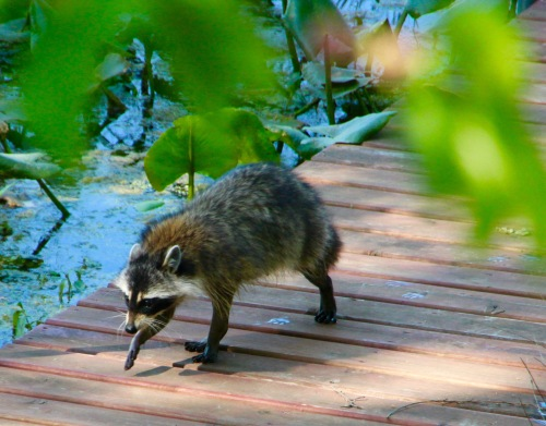 Racoon on our dock