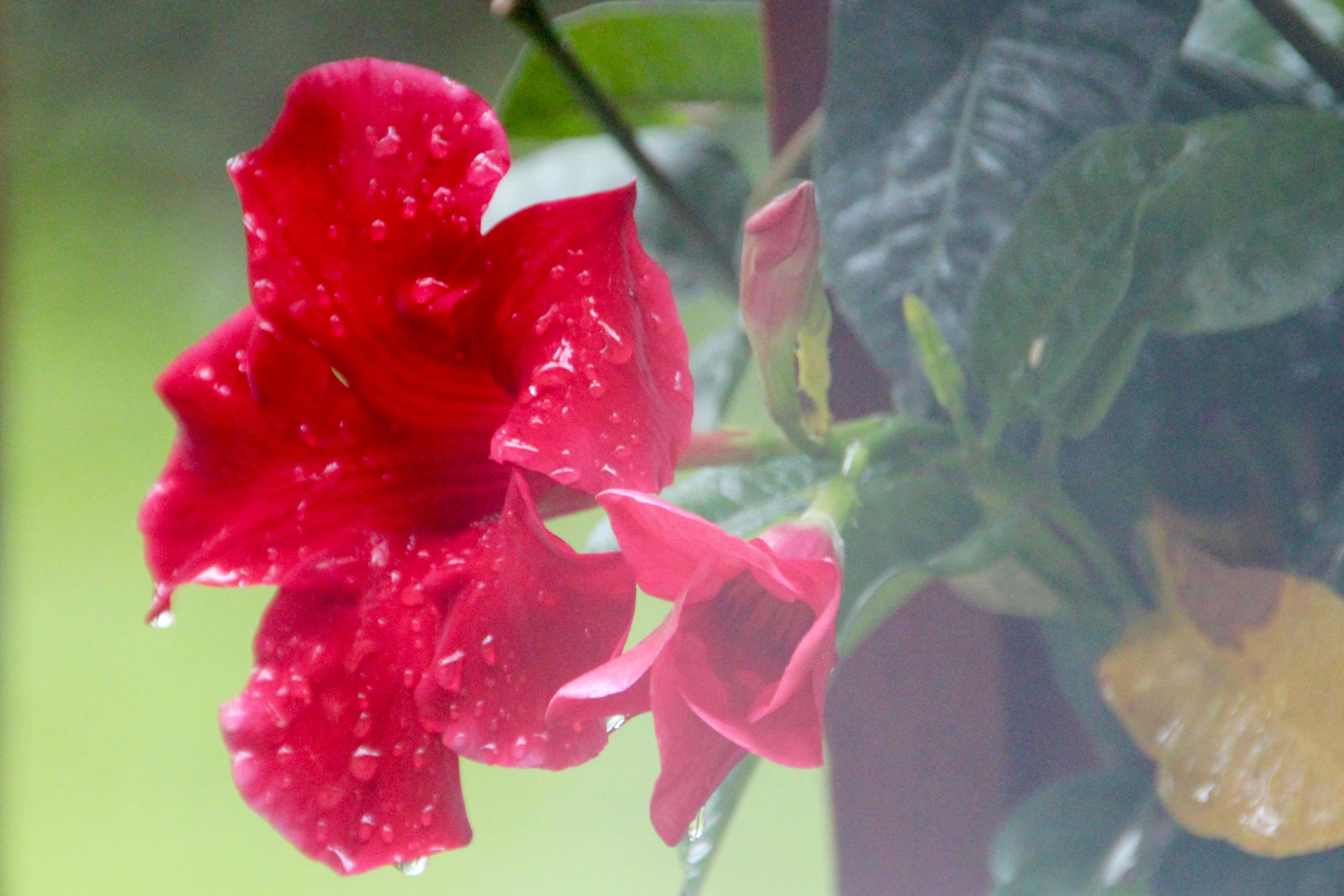 Rain on Mandevilla