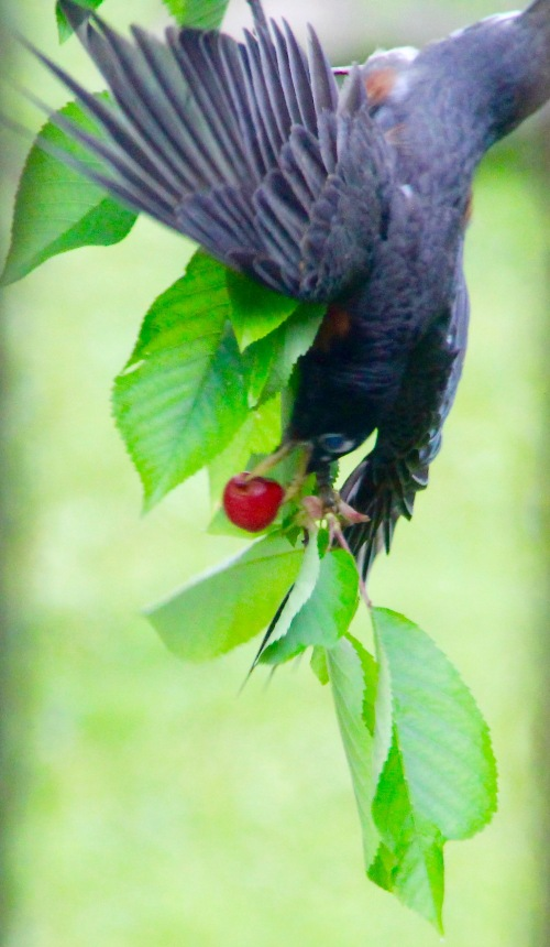 Robin eating a cherry