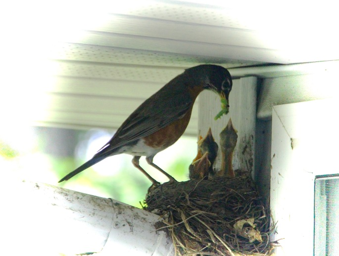 Robin feeding babies in nest