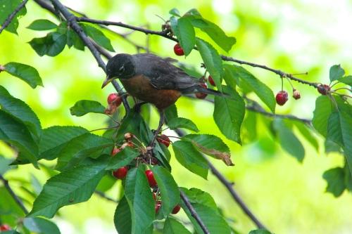 Photos of birds and animals in cherry tree summer setting - Romanian cherry tree varieties ...