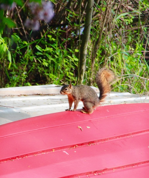 Squirrel on canoe