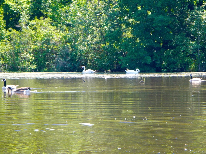 Swans and geese on the Rogue River MI