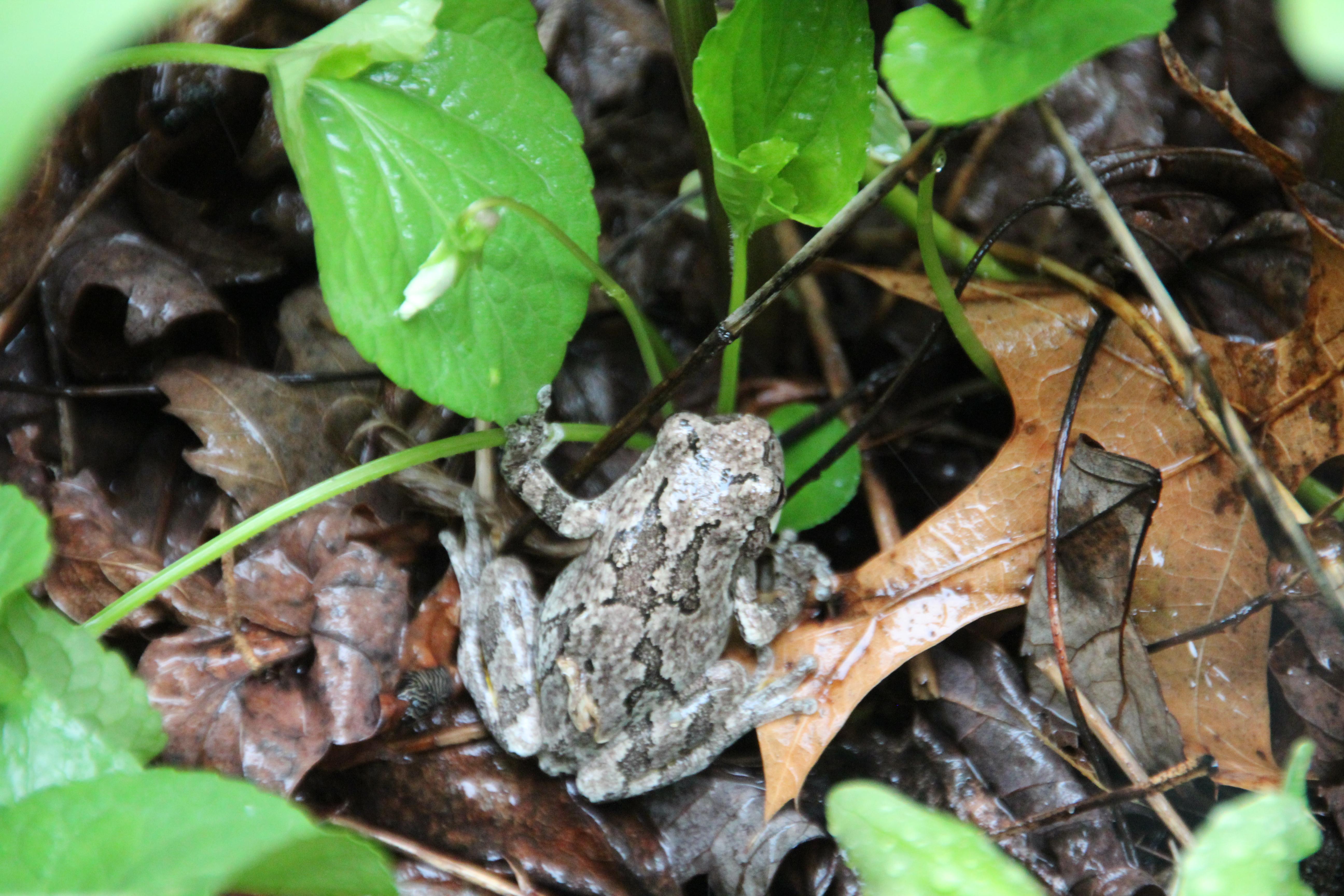 Toad in garden 2