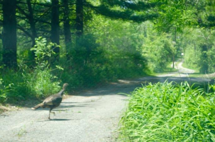Turkey on our lane