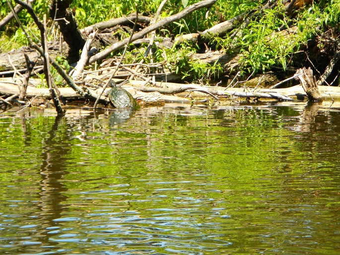 Turtle on the Rogue River MI