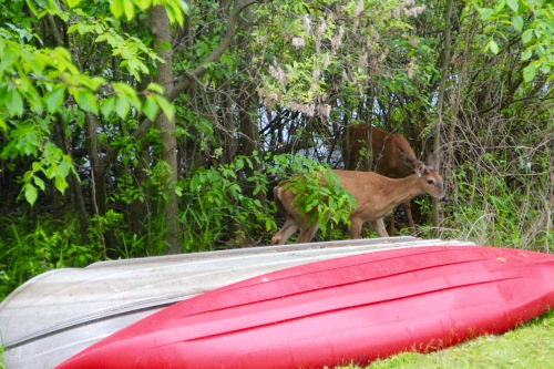 Two deer by boat