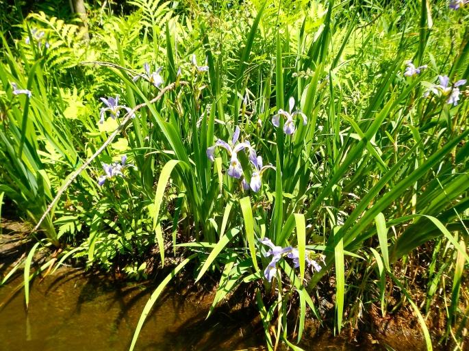 Wild Irises on the Rogue River MI