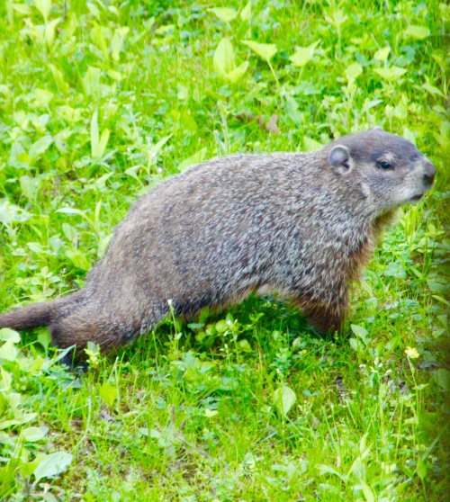 Woodchuck in grass