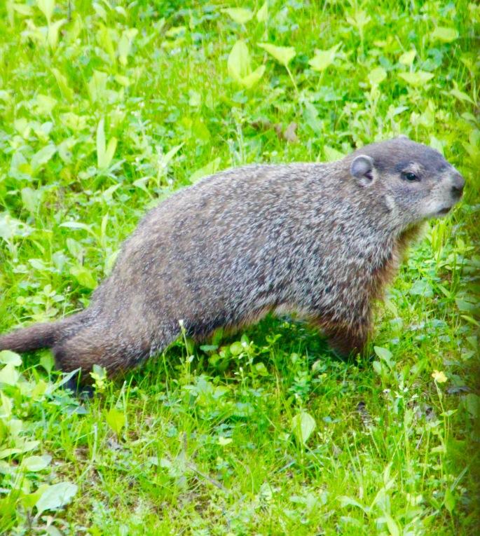 Woodchuck in grass