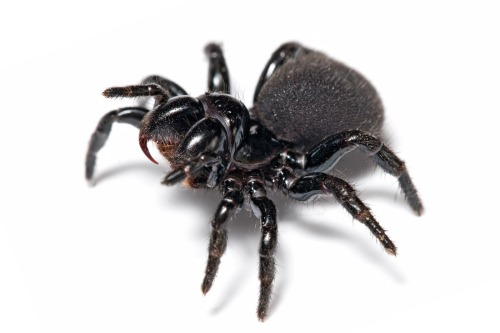 Mouse_spider. Wiki jpg