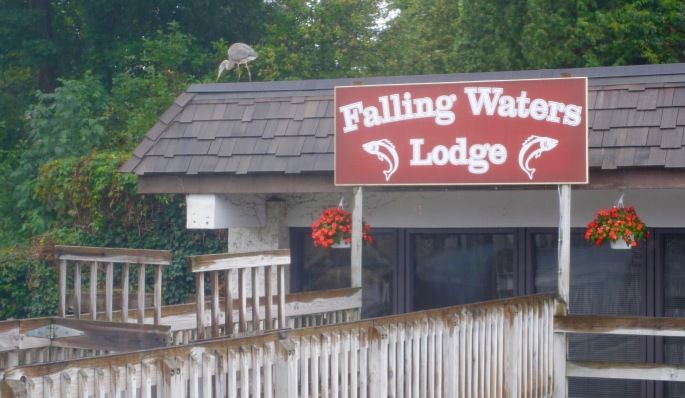Great blue heron on roof of Falling Waters Lodge Leland MI